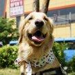 画像6: 大型 犬 ひんやり  スカーフ 2XL 中型犬 大型犬 クール 保冷剤 熱中症対策 即日 出荷出来ます (6)
